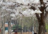 슬픈 벚꽃