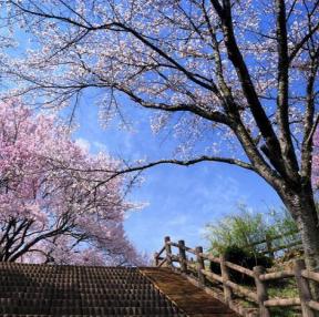 벚꽃구경~
