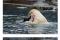 소를 구해주는 북극곰