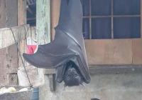 집에 갔는데 이런 박쥐가 있다면....