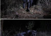 흑표범, 100년만에 촬영했답니다.