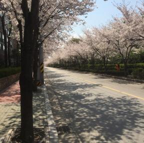 서울에 벚꽃이예요~