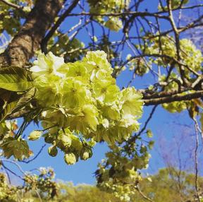 서산 개심사 벚꽃입니다.