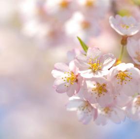 벚꽃이 예뻐요~