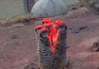 추위가 다가오는 요즘...  미어캣 식구들 근황