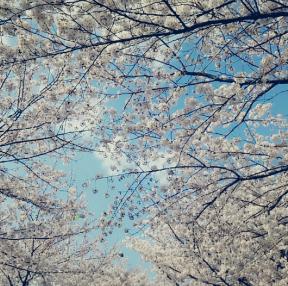 부산 벚꽃