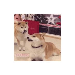 장난치다 혀물리는 강아지