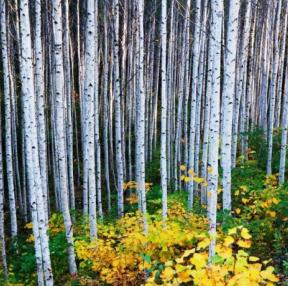 자작나무숲입니다.