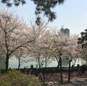 벚꽃 사진 입니당^^