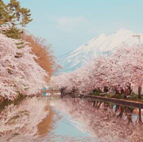 조만간 올 벚꽃