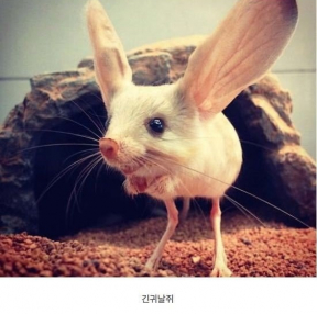 희귀동물 긴귀날쥐, 엄청 귀엽습니다