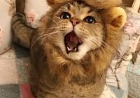 사자 고양이