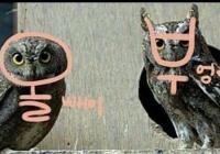 올빼미 vs 부엉이 구별법