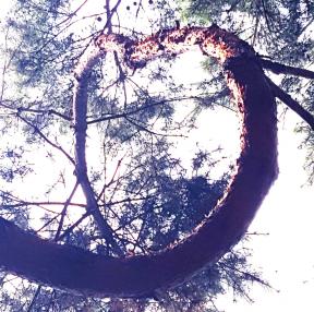 사랑소나무