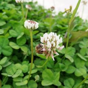 토끼풀과 꿀벌