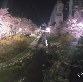 울산 벚꽃