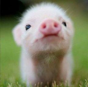 귀여운돼지입니다