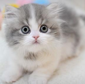 먼치킨 고양이