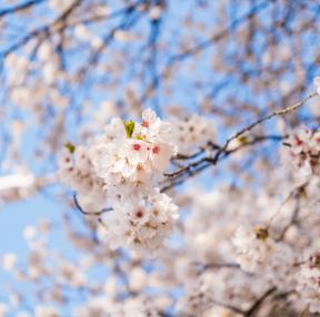 벚꽃 투척