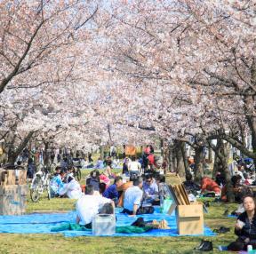 오사카성 벚꽃