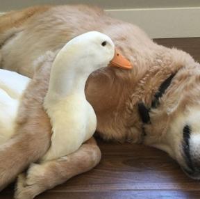 강아지와 오리 너무귀엽네요